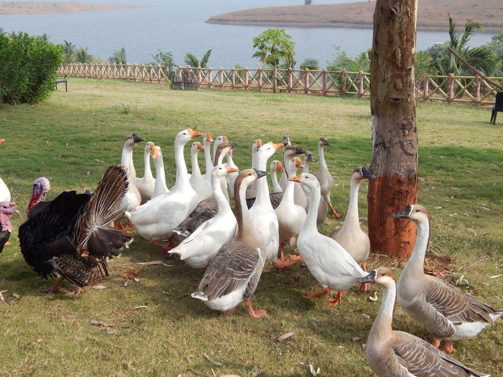 Ducks at Lonavala